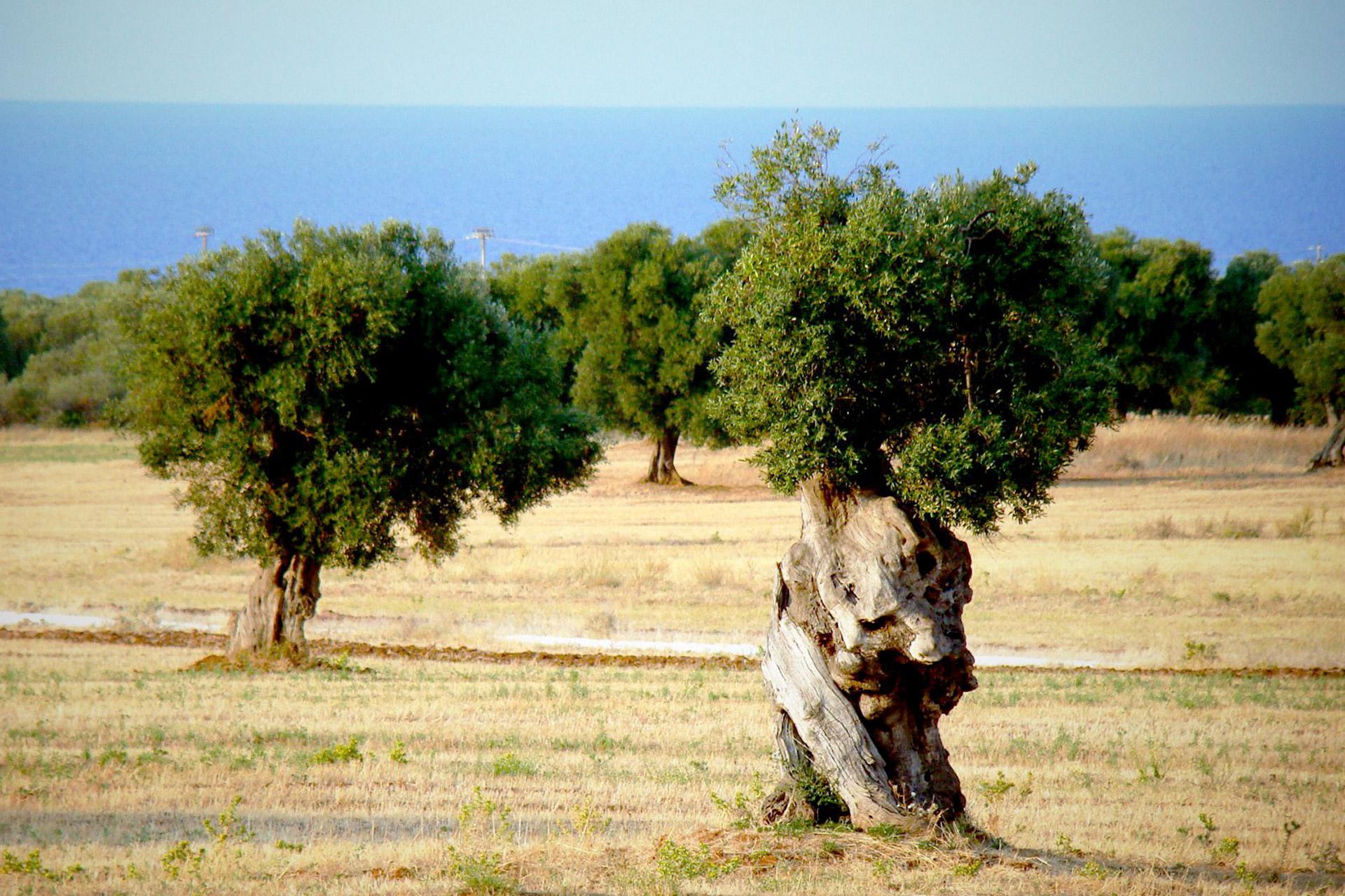 articolo olio d'oliva salento la vecchia osteria lecce