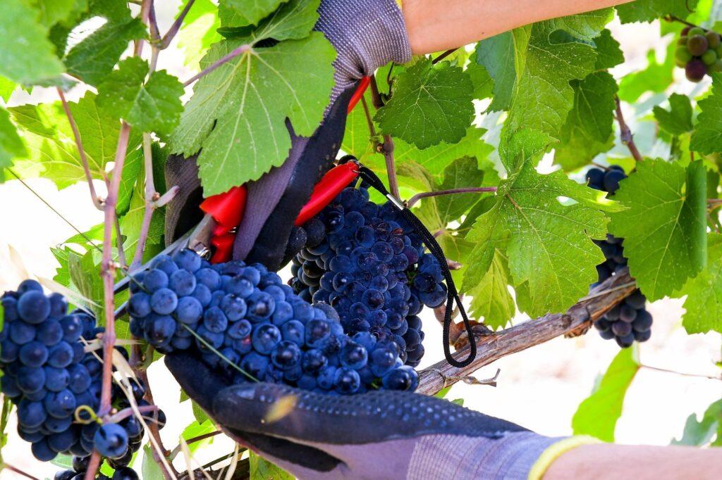 taglio uva